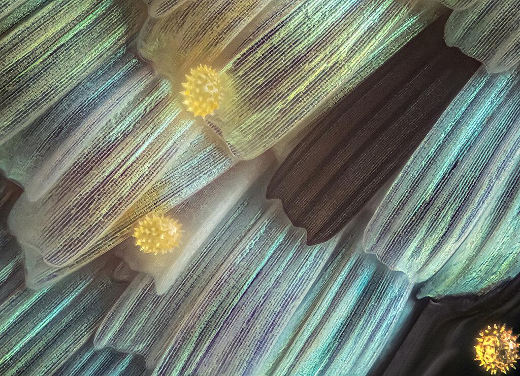 204cb-schuppen-pollen-EM-1mark2-272B-mplan40-lk1flash.jpg
