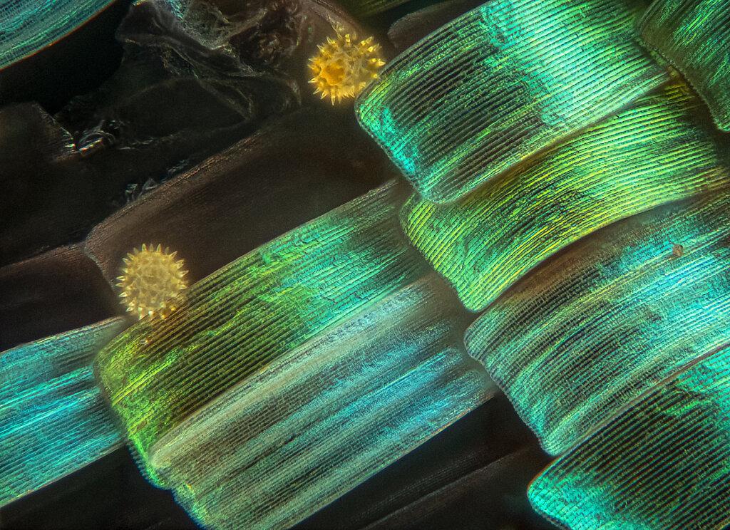 207CBR5-schuppen-pollen-110B-oly50-LK1flashmjkzz.jpg
